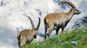 stambecchi_parco nazionale svizzero
